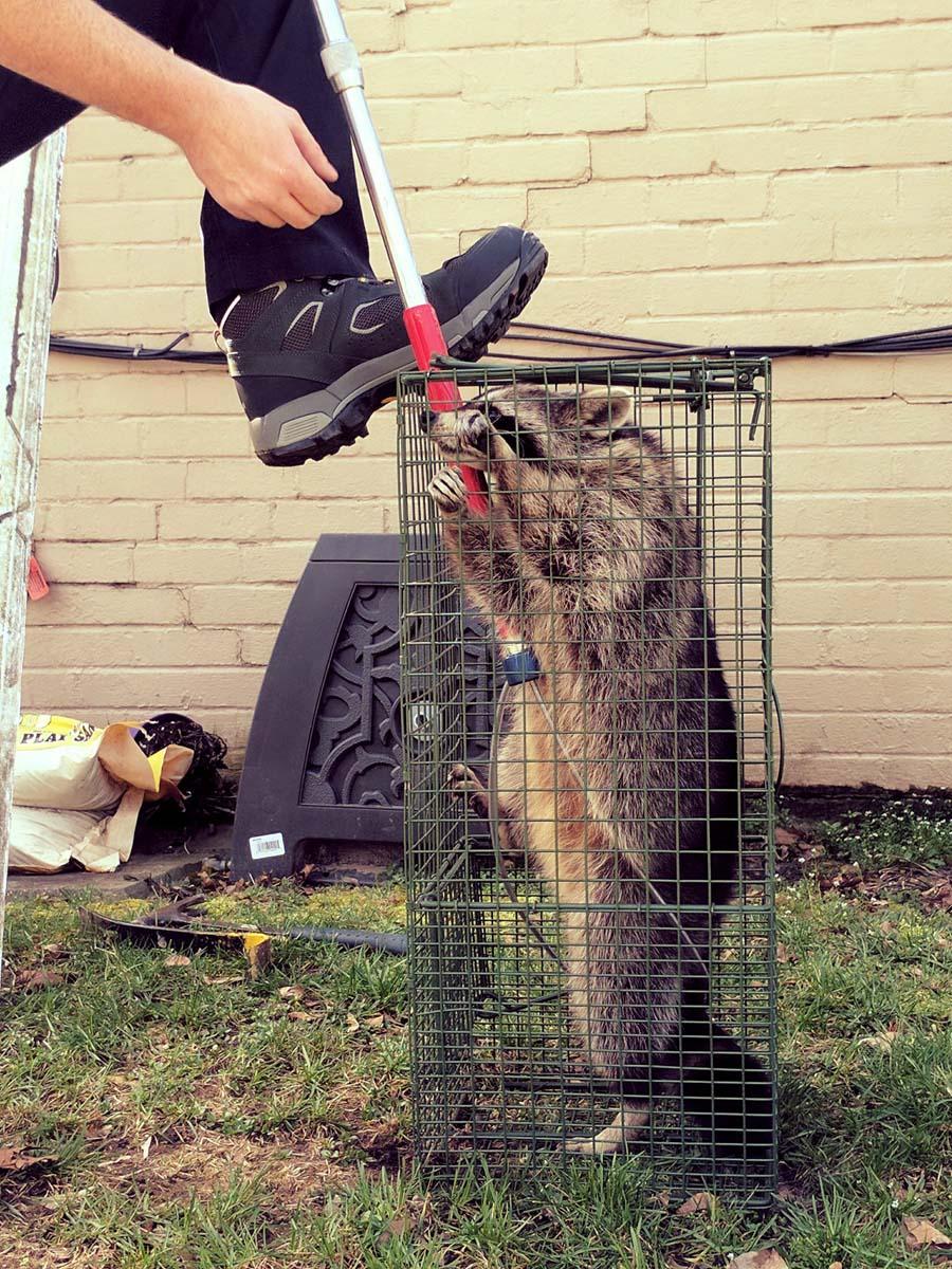 raccoon in trap min